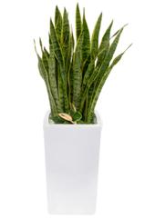 공기정화식물 > 산세베리아 > 산세베리아3