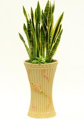 공기정화식물 > 산세베리아 > 산세베리아5