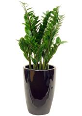 공기정화식물 > 금전수 > 금전수(돈나무)4