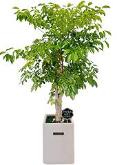 관엽화분 > 행복나무(해피트리)4