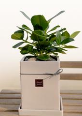 공기정화식물 > 크루시아(클루시아)1