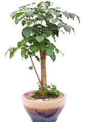 관엽화분 > 녹보수1