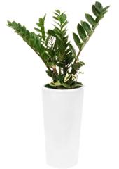 공기정화식물 > 금전수 > 금전수(돈나무)3