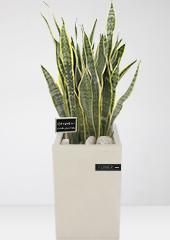 공기정화식물 > 산세베리아14