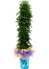 관엽화분 > 홍콩야자2