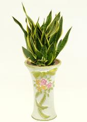 공기정화식물 > 산세베리아 > 산세베리아2