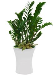 공기정화식물 > 금전수 > 금전수(돈나무)17