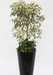 관엽화분 > 칼라벤자민2