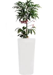 공기정화식물 > 만냥금2