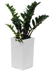 공기정화식물 > 금전수 > 금전수(돈나무)2