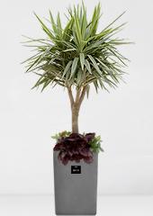 관엽화분 > 칼라유카1