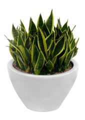 공기정화식물 > 산세베리아 > 산세베리아1
