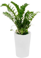 공기정화식물 > 금전수 > 금전수(돈나무)5