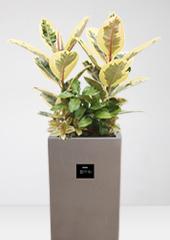 관엽화분 > 수채화고무나무1